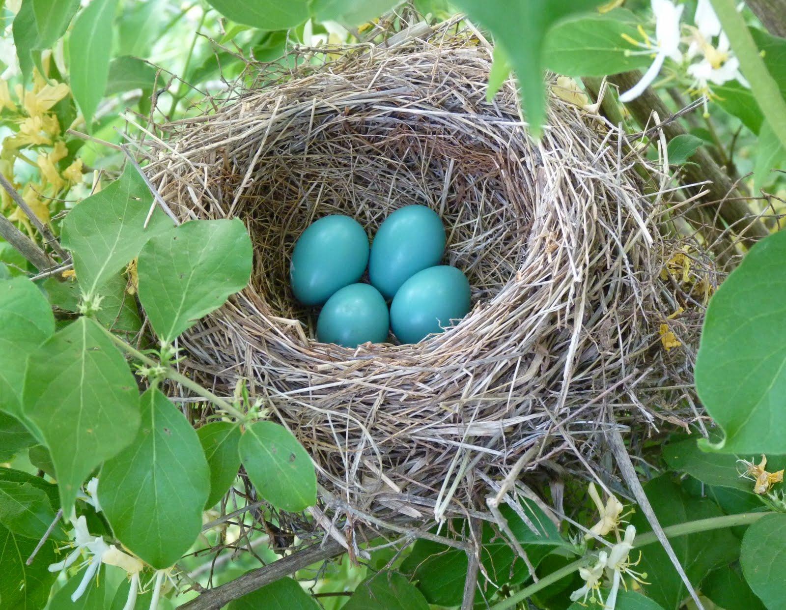 blue jay eggs - HD1600×1241
