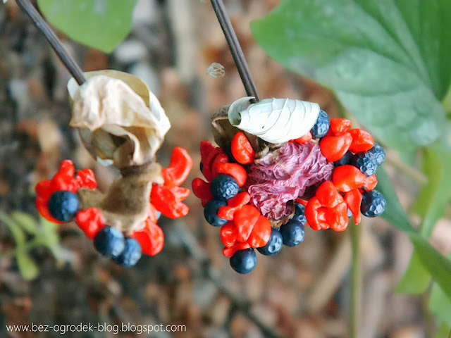 paeonia daurica