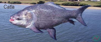 catla, catla fish