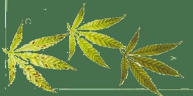 עלי צמח הקנאביס המראים מחסור במנגן