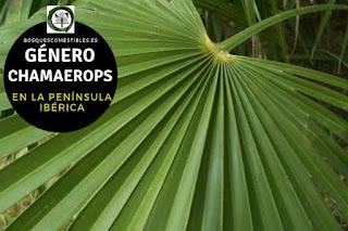 El género Chamaerops arboles o arbustos con el tronco dividido y columnar y grandes hojas dispuestas