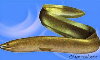 Kalau dilihat Ikan sidat ini bentuknya sekilas menyerupai dengan belut namun bekerjsama ikan Kabar Terbaru- BUDIDAYA IKAN SIDAT UNTUK EKSPOR