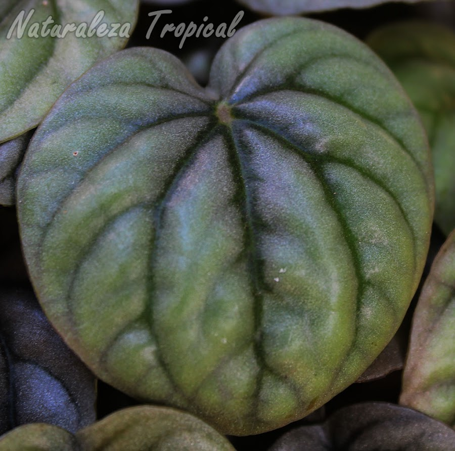 Detalles de la hoja de la Peperomia de Plata, Peperomia griseoargentea