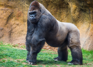 interesting facts about gorilla