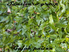 Rumput_gajah_paitan_biasa