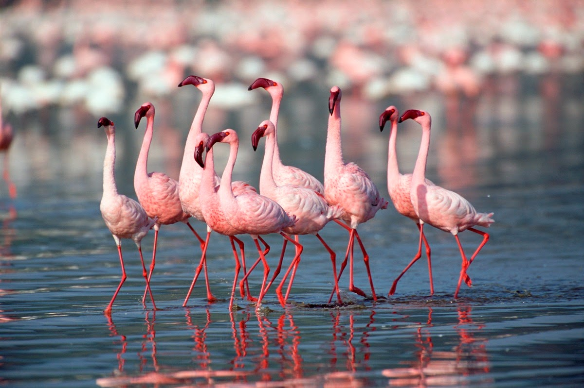 Great Flamingoes, Rann of Kutch