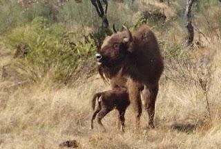 http://aves-extremadura.blogspot.com.es/2016/10/bisontes-en-extremadura.html