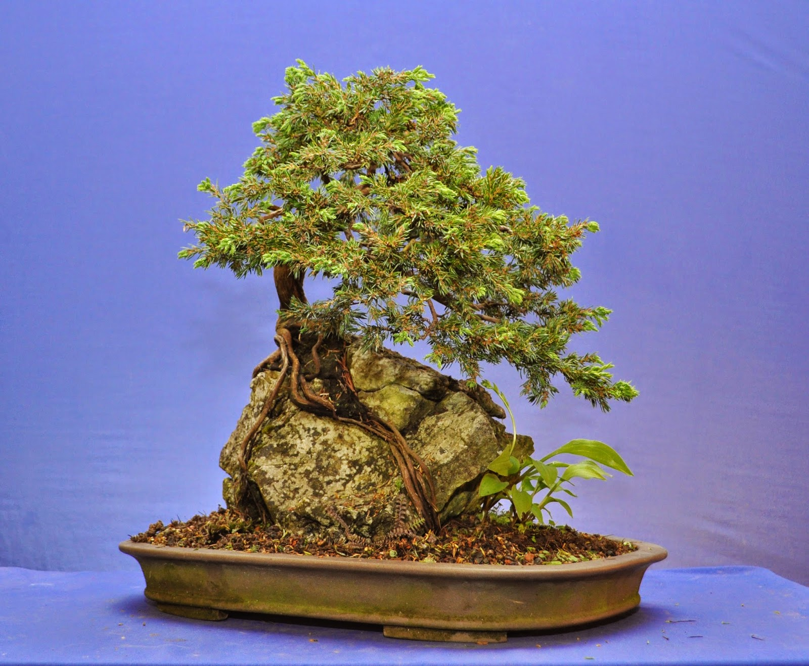 How to grow a bonsai tree on a rock