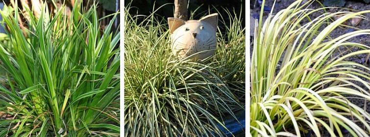 Mit Pflanzen gestalten - Goldrand Japansegge