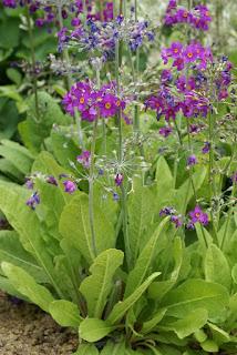 Primula beesiana  - Primula bulleyana subsp. beesiana