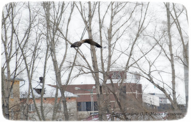 orlan-belohvost-nablyudenie-za-pticami-zimoj-magiya-biologii