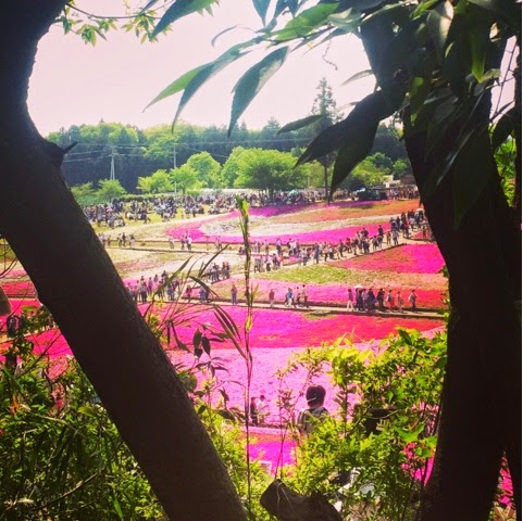 Shibazakura pink moss Chichibu