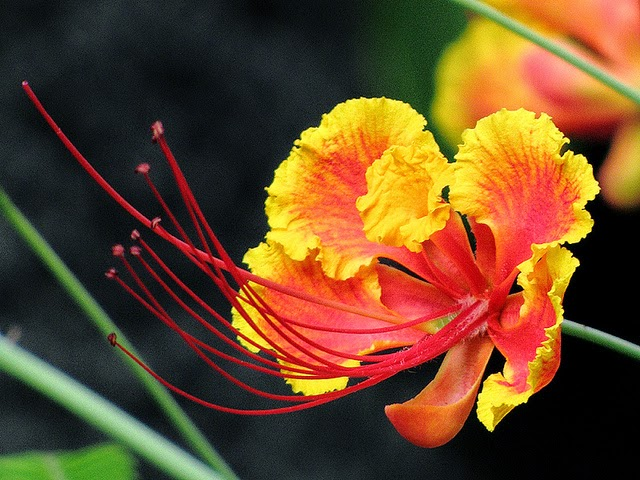 Bunga merak atau disebut juga kembang merak sering dipakai sebagai tumbuhan hias dan kad Manfaat dan Khasiat Bunga Merak (Caesalpinia pulcherrima)