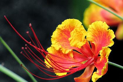 Manfaat Dan Khasiat Bunga Merak (Caesalpinia Pulcherrima)