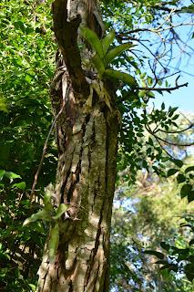 Callisia fragans. Uso sobre árboles.  Sombra.