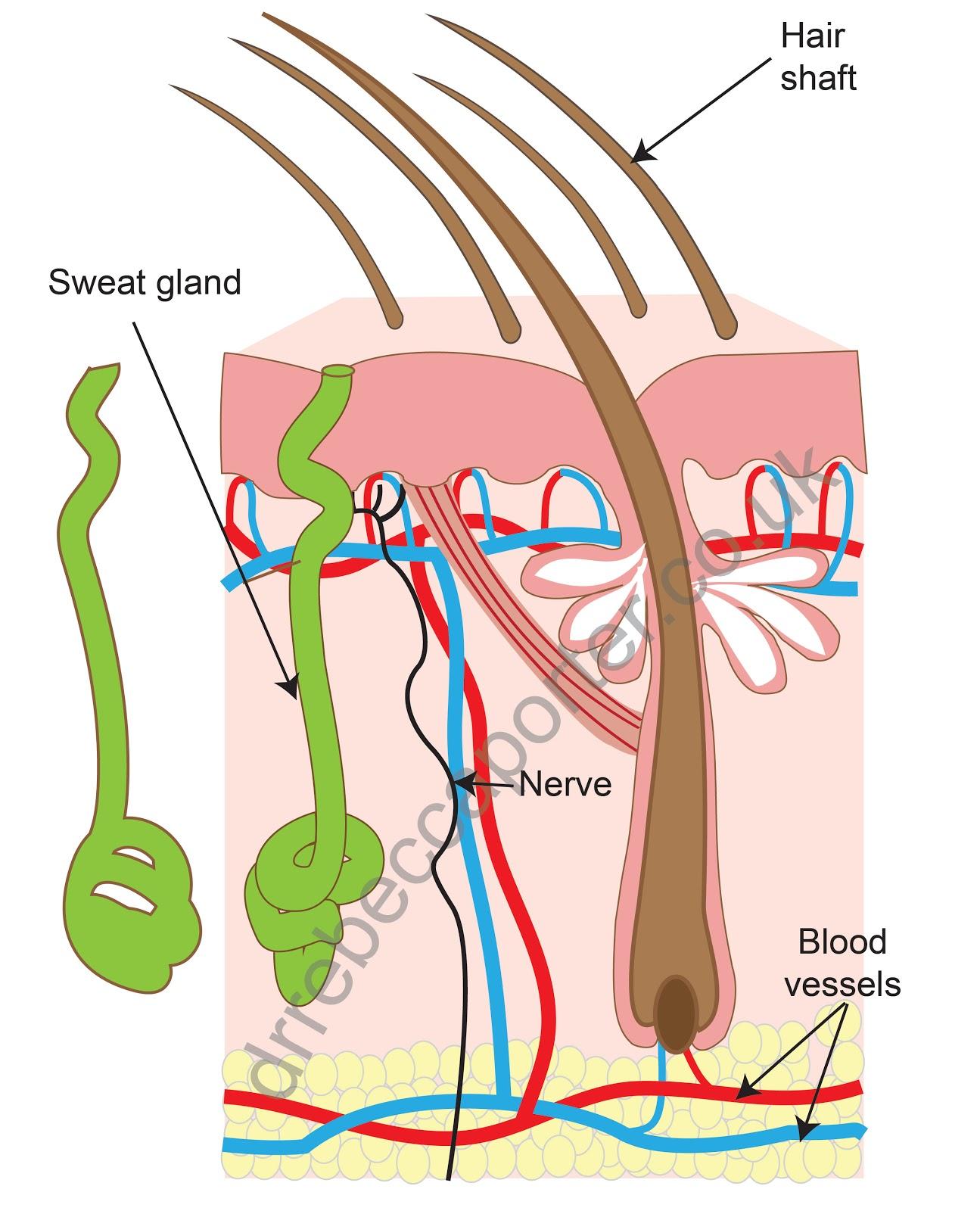 32 Sweat Gland Diagram