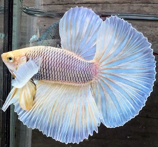 High Quality Betta Fish for Sale