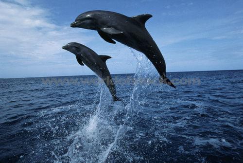 Yellow Wallpaper: bottlenose dolphins jumping