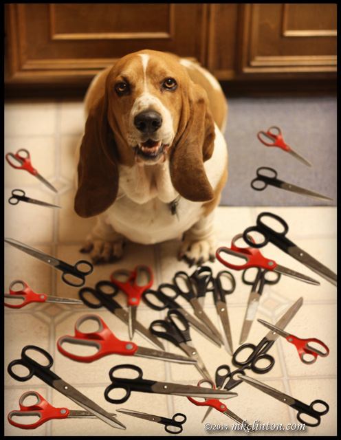 Basset Hound surrounded by scissors