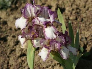 Iris germanica 'Chatterbox'