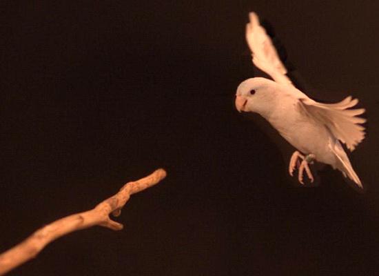 Laporan Penelitian Dinosaurus Belajar Melompat Sebelum Terbang