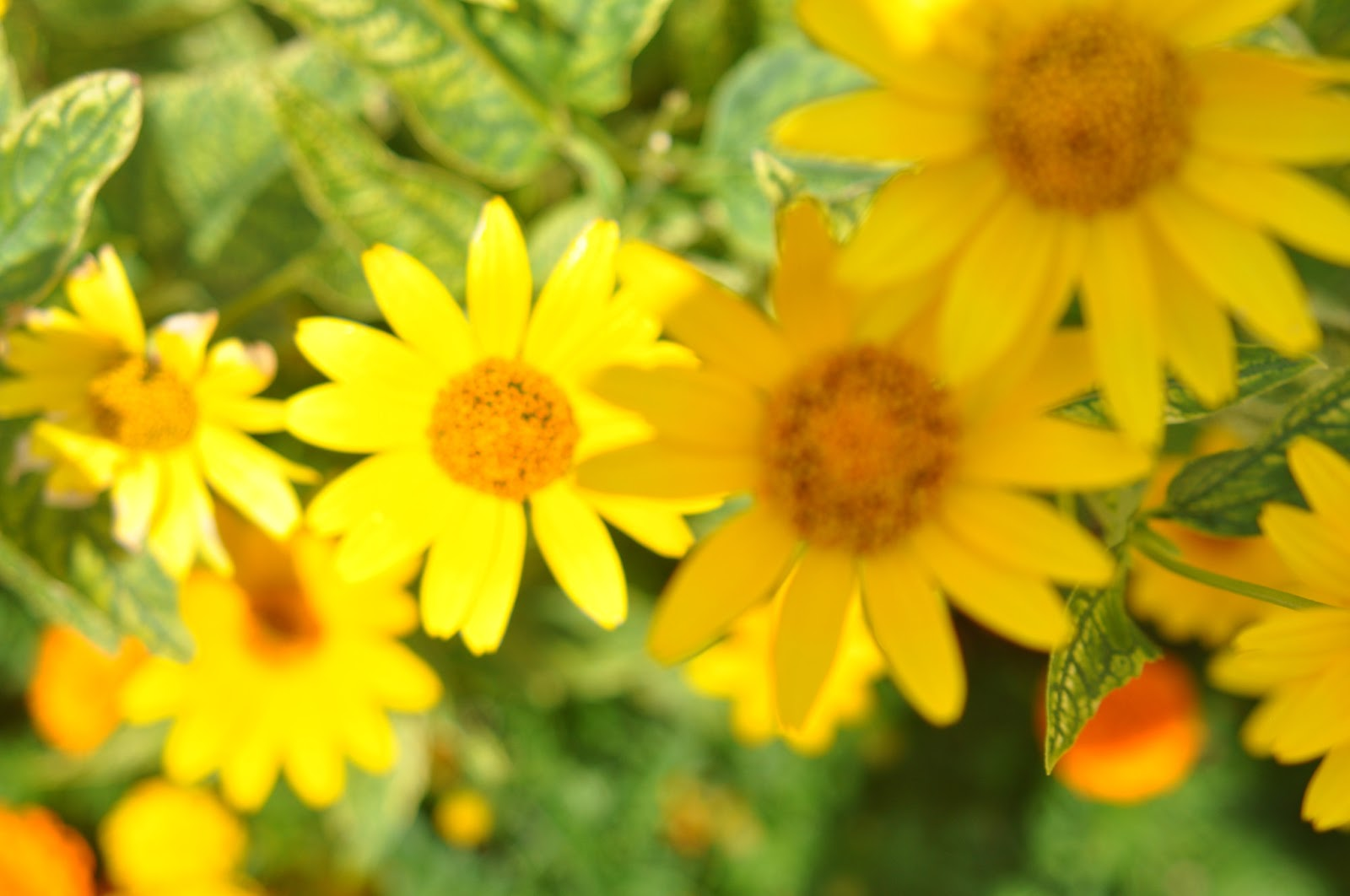 Yellow Flowers | Global Wallpapers