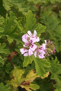 flores de aroma, artemisa, citronella, sorcilicio o geranio aromo Pelargonium odoratissimum