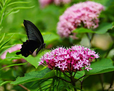 a-black-butterfly-wallpaperss