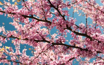 Wallpaper: Pink Blossoms