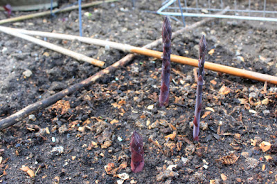 Purple asparagus stems