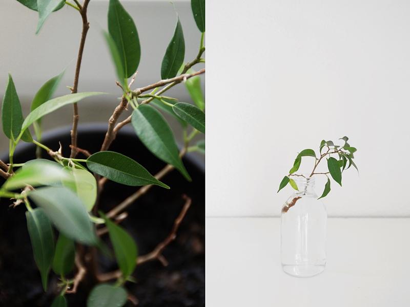 DIY: Birkenfeige/ Ficus Natasja aus Zweig ziehen - Pflegeleichte, dekorative Zimmerpflanze in Wasser selberziehen und pflegen