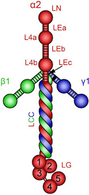 The resemblance of laminin to a cross is not a reason to use it for Christian apologetics