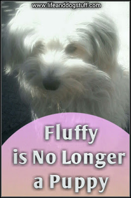 Fluffy is No Longer a Puppy - Fluffy growing up