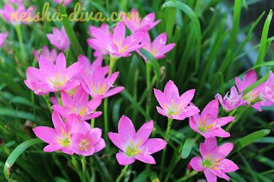 Rain Lily Pink