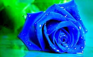 Gambar Bunga Mawar Biru Paling Cantik_Blue Roses Flower 200017