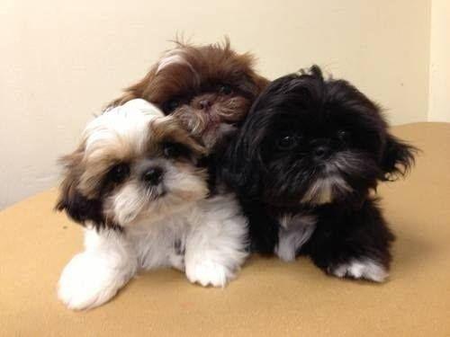 Doenças caninas