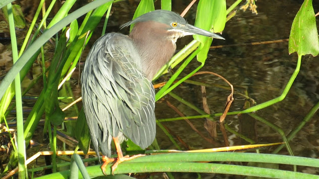Green Heron Up Close