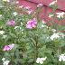 Atasi Kanker Dengan Bunga Tapak Dara ,Tumbuhan Cantik Banyak Manfaat