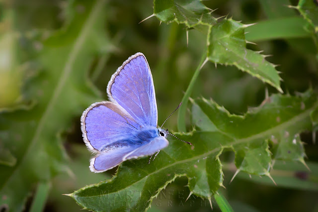 Macro image of a vibrant common blue butterfly on a thistle leaf
