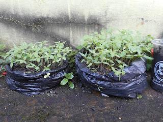 Pemanfaatan Plastik Bekas Untuk Penyemaian Tanaman Tomat Di Halam Rumah