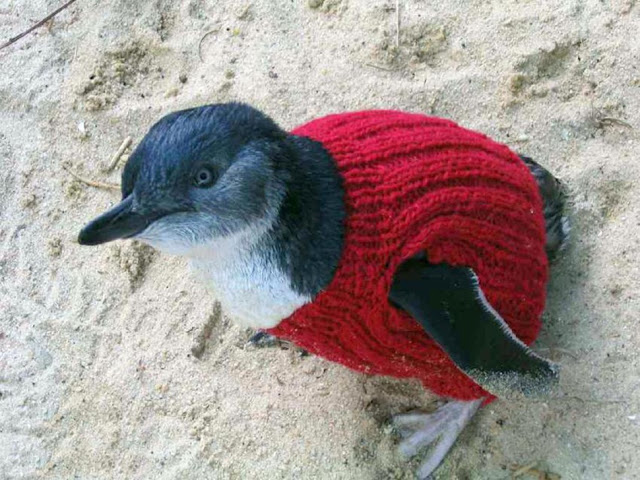 Fairy Penguin waddling on sand and wearing a tiny red sweater. No Kicking Penguins and other penguin stories. marchmatron.com