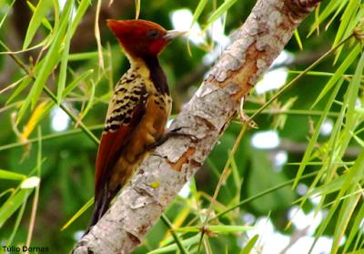 pica-pau-do-parnaíba, celeus, obrieni, Woodpecker, aves do Brasil, aves, birding, birdwatching, Brazil, vem passarinhar, pica-pau, pica pau do parnaíba, pica pau, Kaempfer's Woodpecker, celeus obrieni, Cerrado, Tocantins, Brasil
