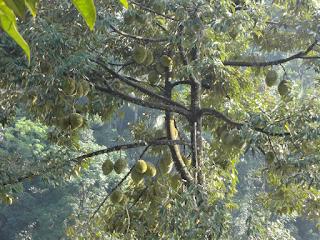 Foto Durian Menoreh Legit saat Berbuah MSTech: tlp/wa: 0812-1560-7921