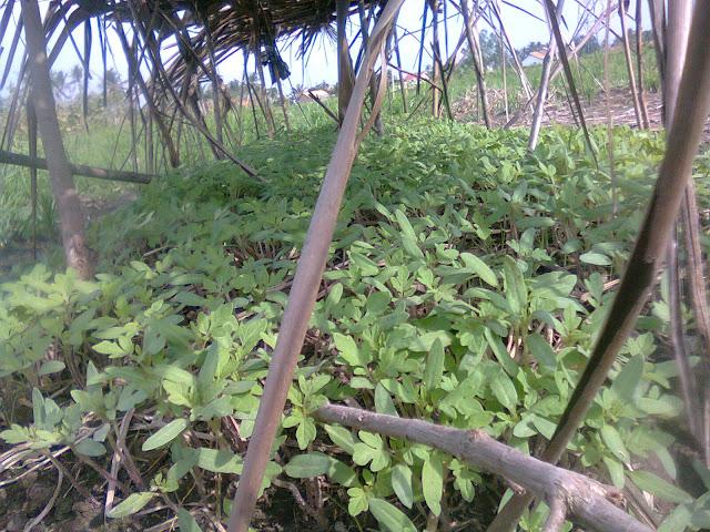Tanaman Muda Tomat Rampai Tumbuh Subur Melalui Tahap Perkecambahan Biji