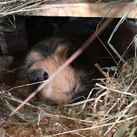 Crumble Guinea Pig