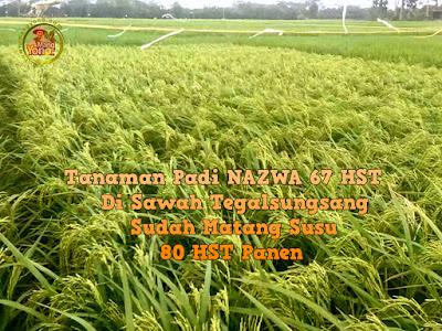 FOTO 2 :   Tanaman Padi NAZWA 67 HST   Di Tegalsungsang Sudah Matang Susu