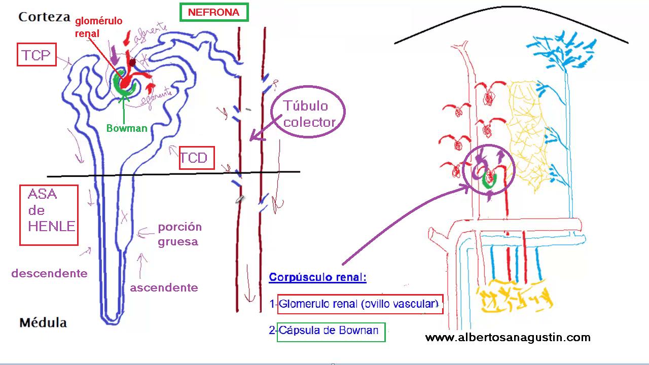 nefrona y anatomía