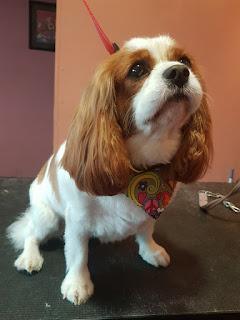 dog groomer b78 Polesworth Tamworth dog groomer b79