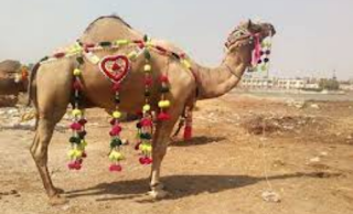 Qurbani of camel