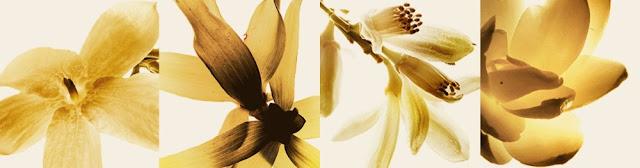 Jaśmin, tuberoza, kwiat pomarańczy, ylang ylang - oficjalne kwiaty Gabrielle